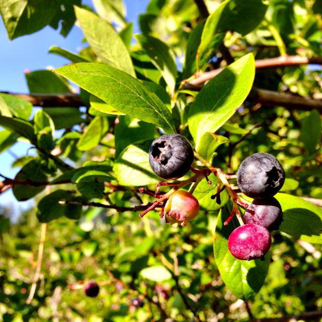 """Maine blueberries."" stock image"