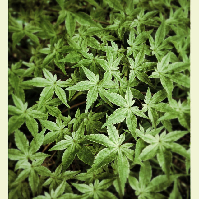 """""""Dense Salvia (Sage) foliage in muted emulsion transfer colors"""" stock image"""
