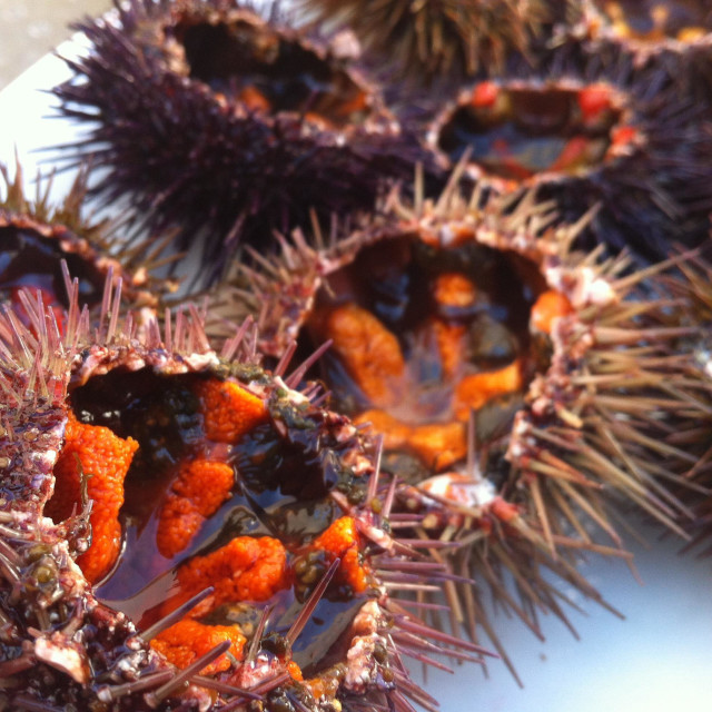 """Sea urchins from Tarifa, on the Strait of Gibraltar."" stock image"