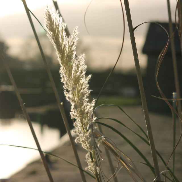 """Pampas on the Towpath"" stock image"