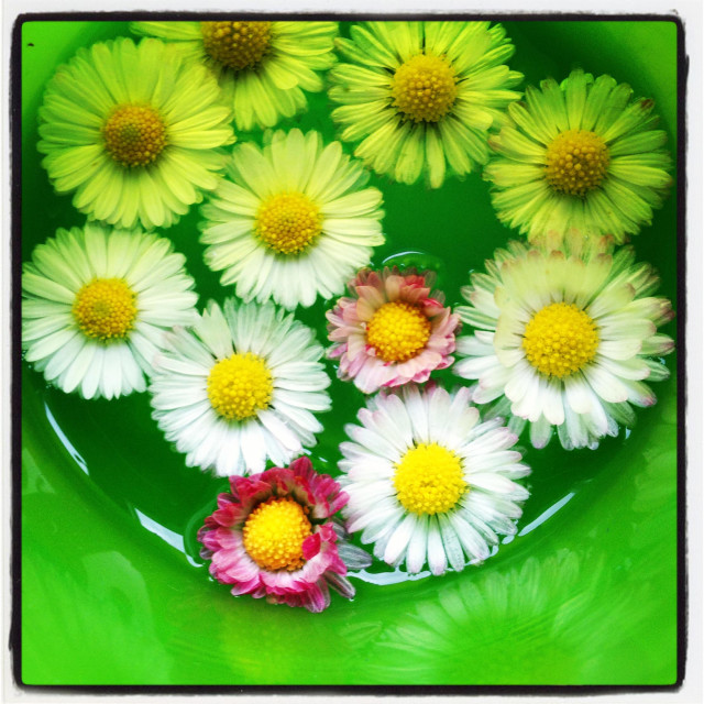 """Daisies collected in a cup floating in water"" stock image"