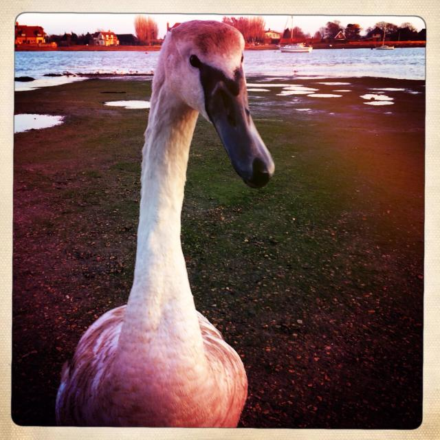 """""""Young swan Cygnus close up on beach"""" stock image"""
