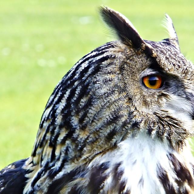"""Daphne the Eagle Owl"" stock image"