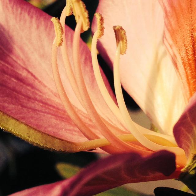 """""""Desert Orchid"""" stock image"""