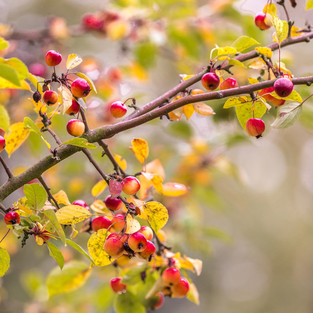 """""""Autumnal berries on a tree"""" stock image"""