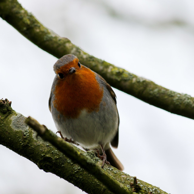 """A Curious Robin"" stock image"