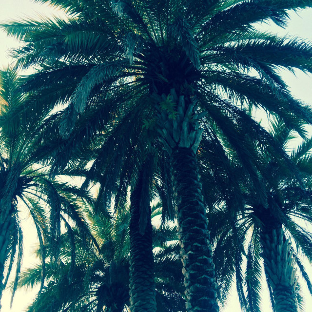 """""""Date palm trees,Florida"""" stock image"""