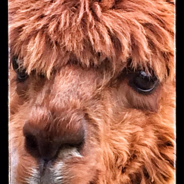 """""""Close up of an Alpaca"""" stock image"""
