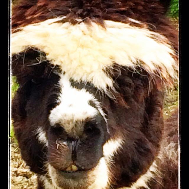 """Alpaca South American animal"" stock image"