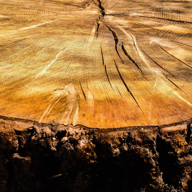 """Cross section of tree"" stock image"
