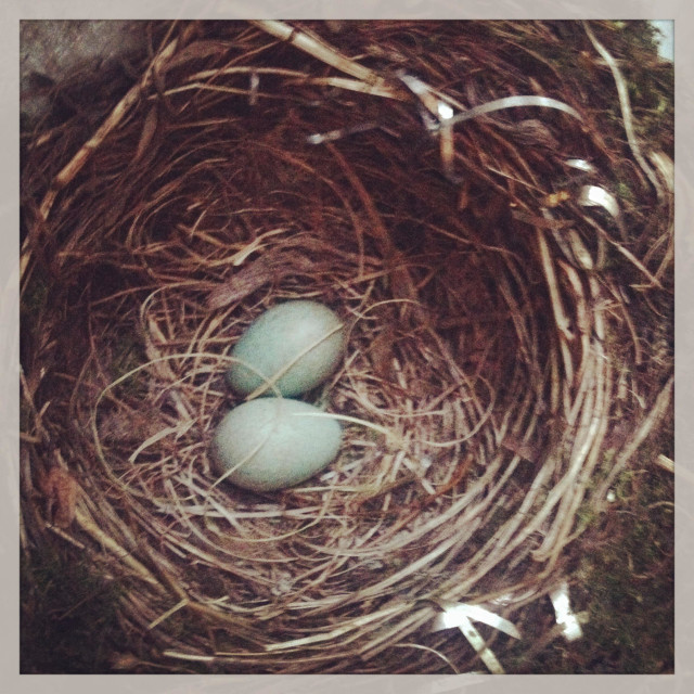 """""""Two eggs in a blackbirds nest"""" stock image"""