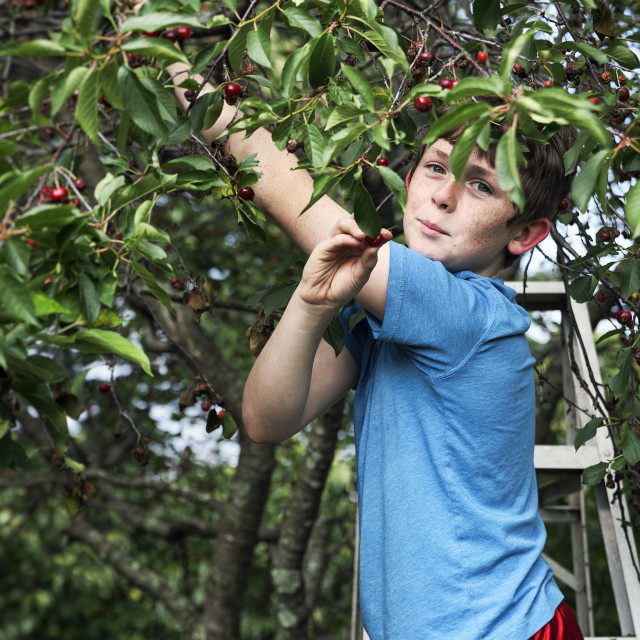 """""""Boy picking cherries from a cherry tree."""" stock image"""