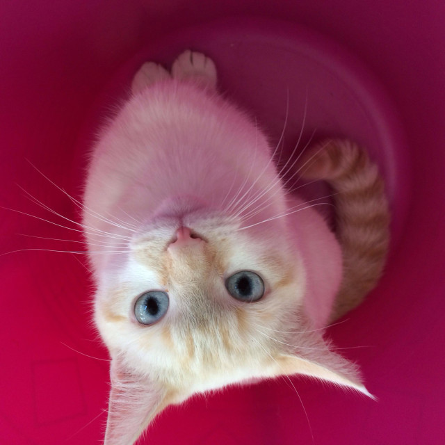 """""""White kitten in pink basket"""" stock image"""