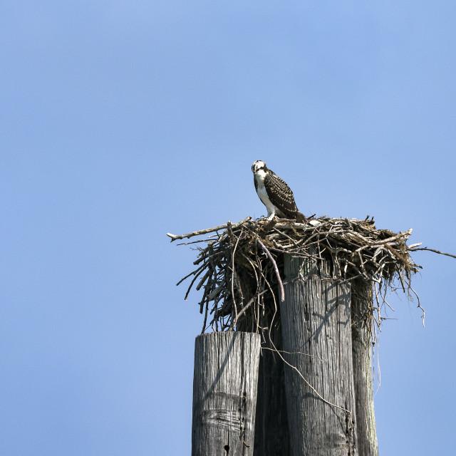 """Osprey in salt marsh nest, Cape Charles, Virginia, USA"" stock image"