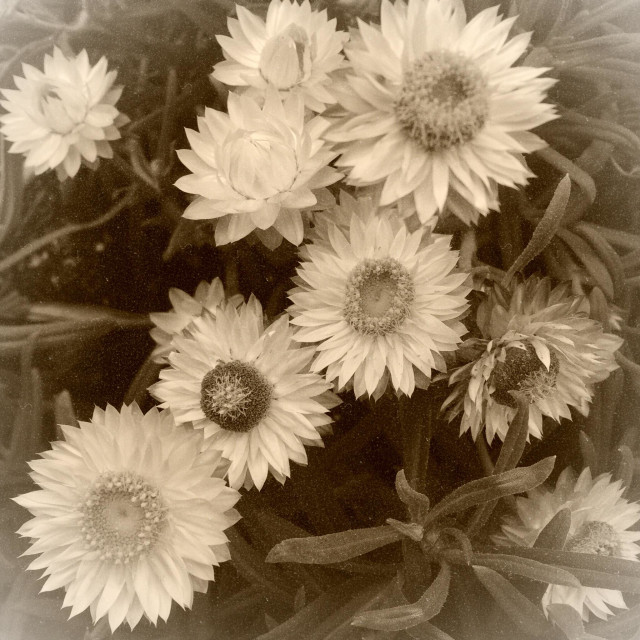 """Everlasting daisies or strawflowers"" stock image"