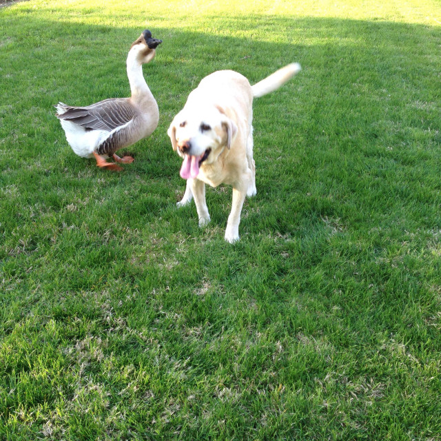 """Dog and goose"" stock image"