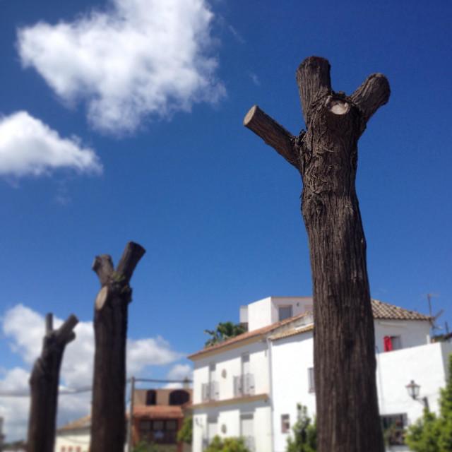 """Over prunned trees in Prado del Rey, Cadiz province, Andalusia, Spain"" stock image"