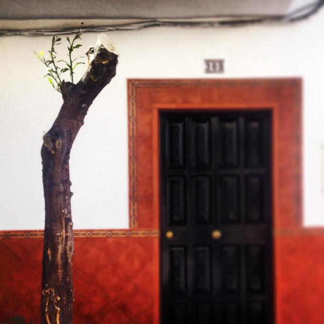 """An over pruned orange tree in Prado del Rey, Cadiz province, Andalusia, Spain"" stock image"