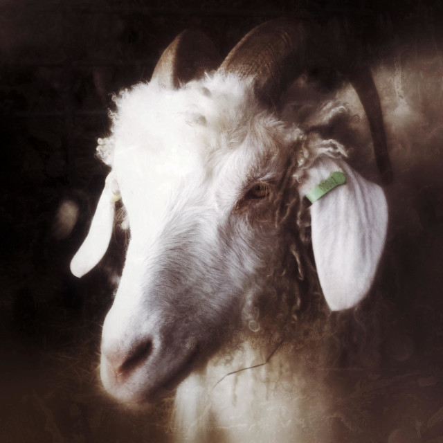 """Angora billy goat"" stock image"