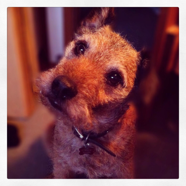 """""""Terrier dog with questioning look as if trying to understand."""" stock image"""