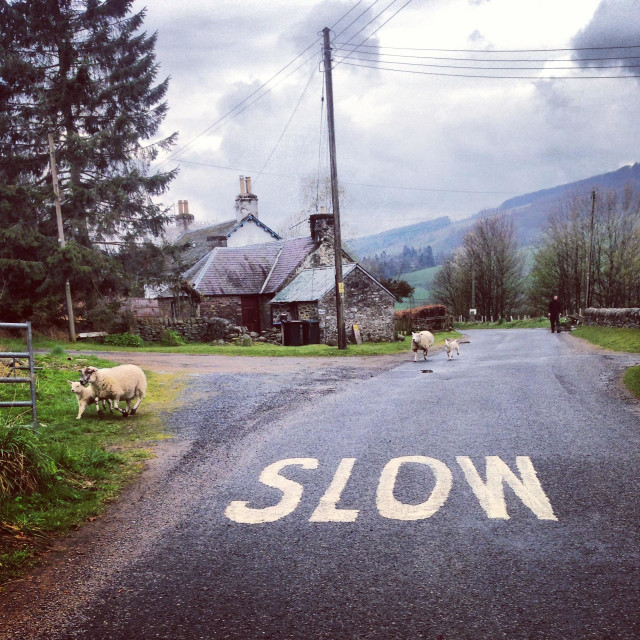 """""""Sheep and lambs crossing the road with slow sign painted in foreground, farmer in the background."""" stock image"""