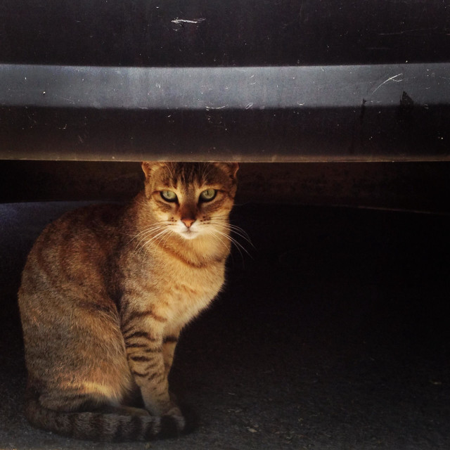 """""""A female cat stands under a car in Prado del Rey, Cadiz province, Andalusia, Spain"""" stock image"""