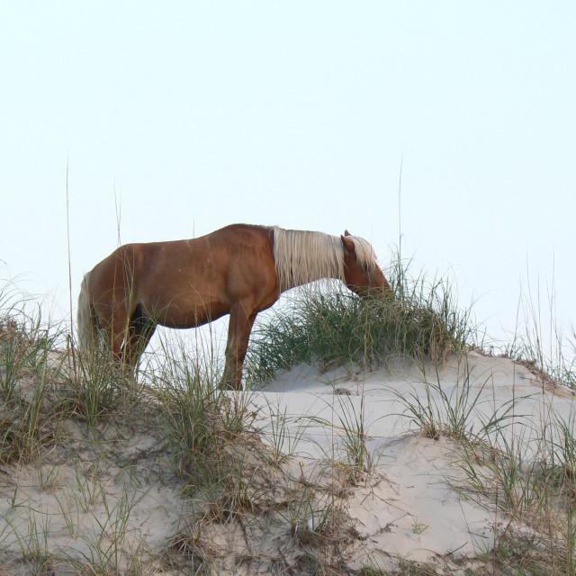 """Wild horse - North Carolina Outer Banks"" stock image"