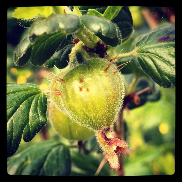 """Gooseberry. Ribes uva-crispa."" stock image"