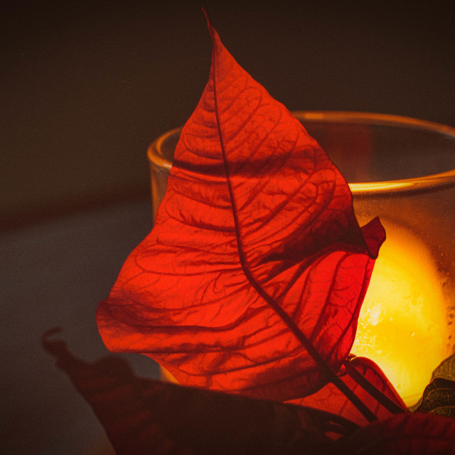 """Poinsettia with Candle"" stock image"