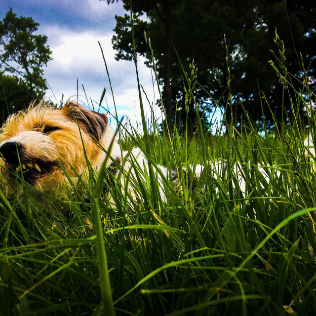 """""""Dog lying in the grass chewing a stick with trees in the background"""" stock image"""
