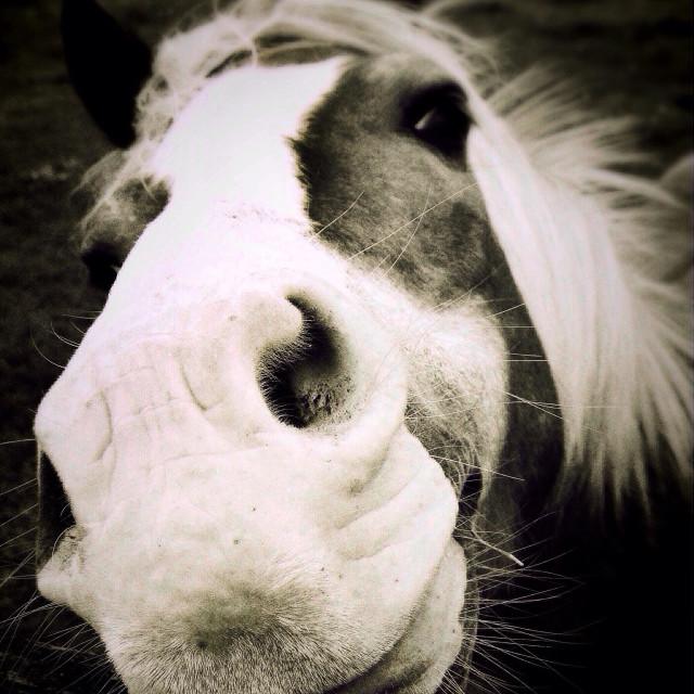 """Close up of horse nostrils"" stock image"