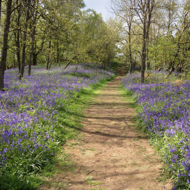 """The Pennine Way, as the path approaches Low Force from Middleton-in-Teesdale passes through a carpet of bluebells in Spring. An area of Outstanding Natural Beauty - AONB. Co Durham, England"" stock image"
