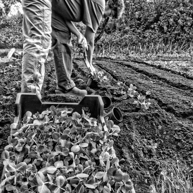 """""""Planting peas"""" stock image"""
