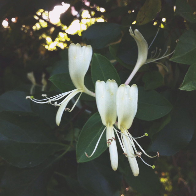 """honeysuckle"" stock image"