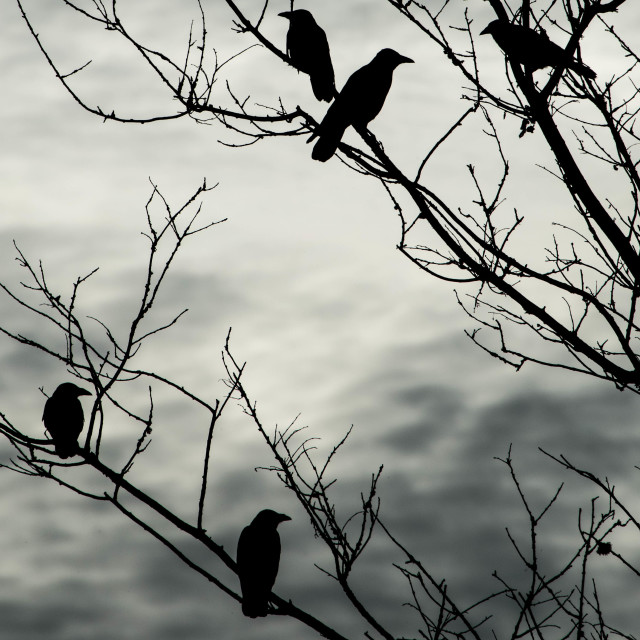 """Carrion Crows on bare branches"" stock image"