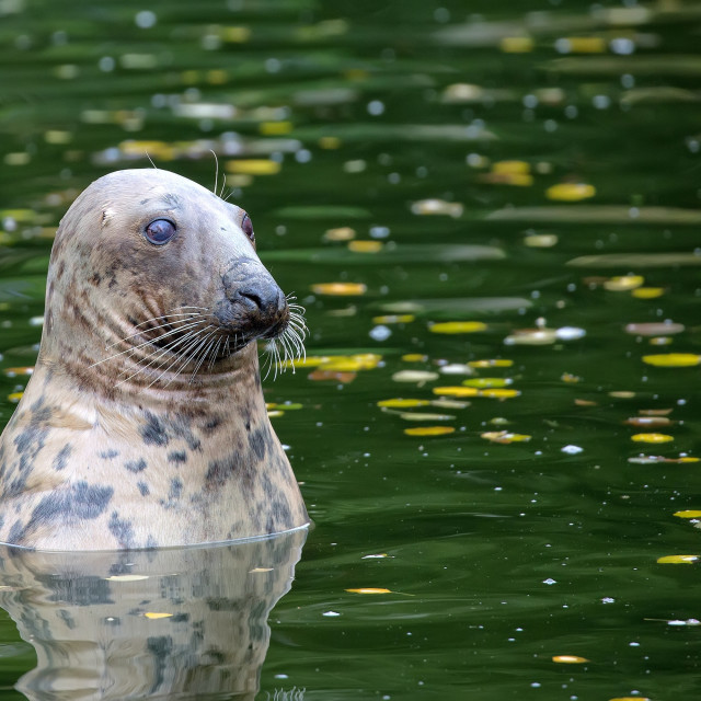 """Seal in the water"" stock image"