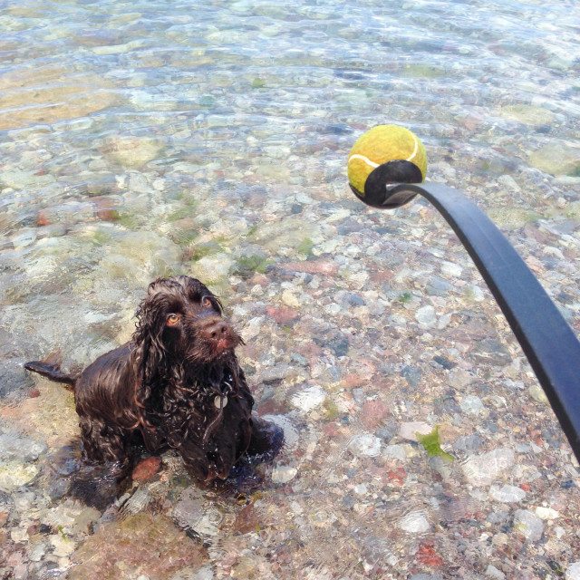 """""""Ready Steady Go - Chocolate English cocker spaniel playing ball game on the beach"""" stock image"""