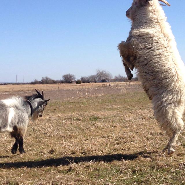 """Billy goats gruff"" stock image"