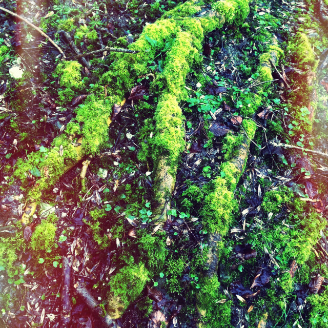 """""""Mossy 'foot' on ground."""" stock image"""