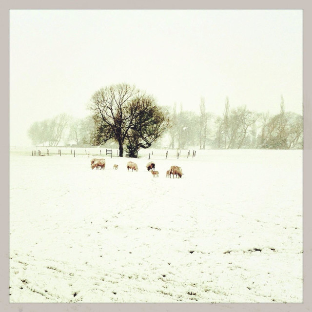 """Sheep in snowscape"" stock image"