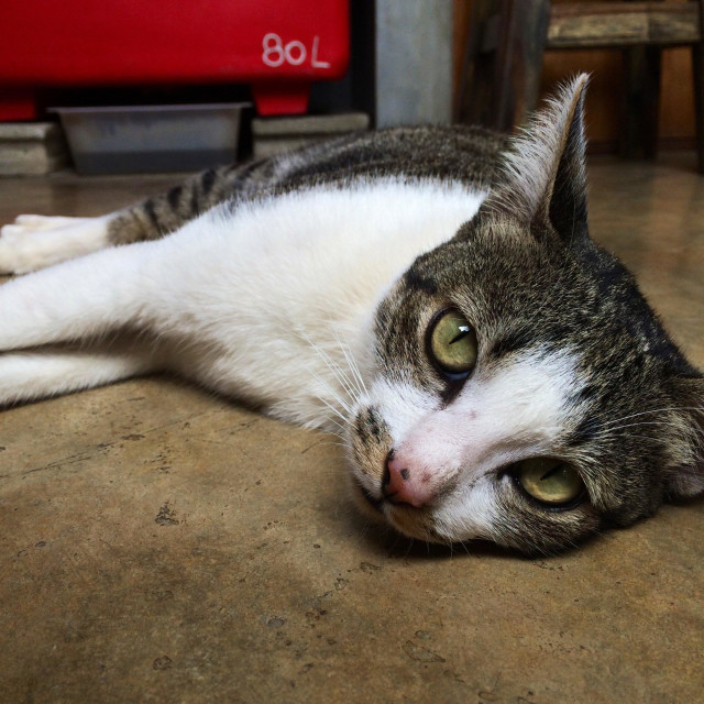 """""""Cat lying down on the floor"""" stock image"""