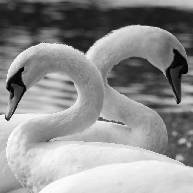 """A Swan Couple"" stock image"