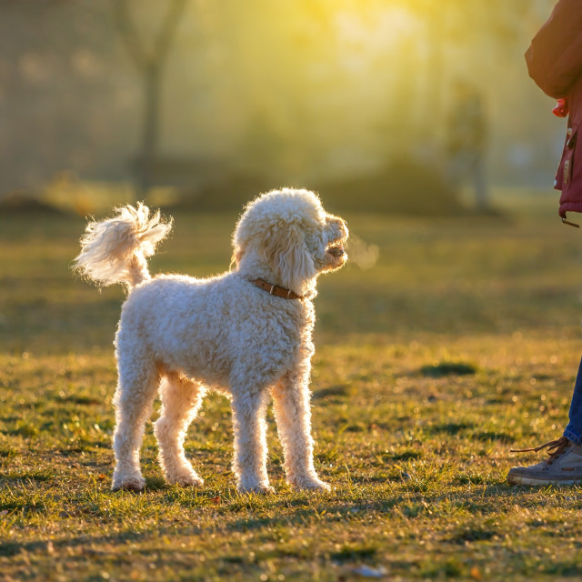 """""""poodle dog play with boy"""" stock image"""