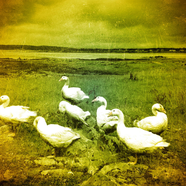 """Gaggle of geese3"" stock image"