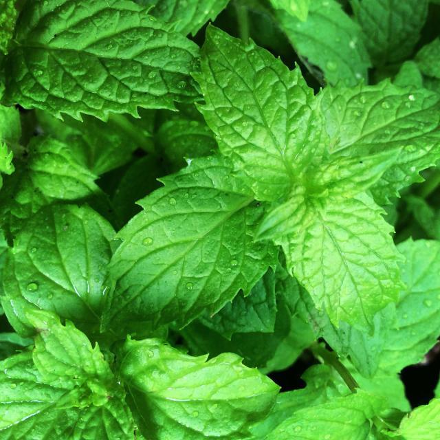 """Spearmint herb plant"" stock image"