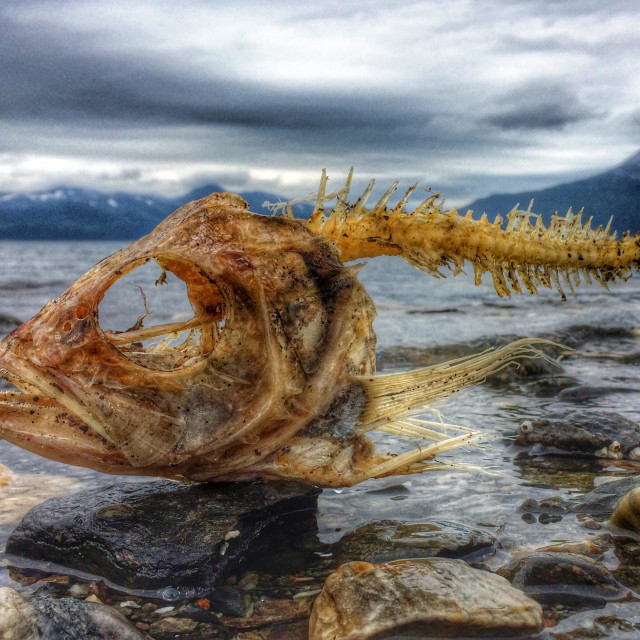 """Drama on the beach. Coalfish carcass washed ashore on Nordic beach, Norway."" stock image"