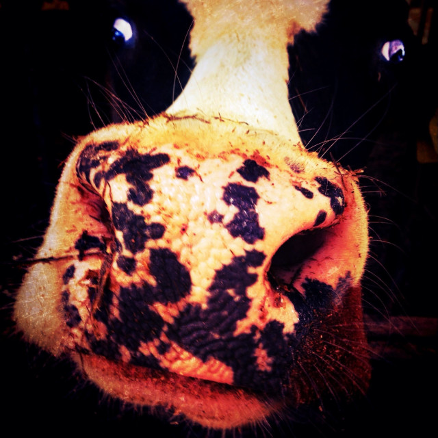 """""""Close up of cow head and nostrils"""" stock image"""