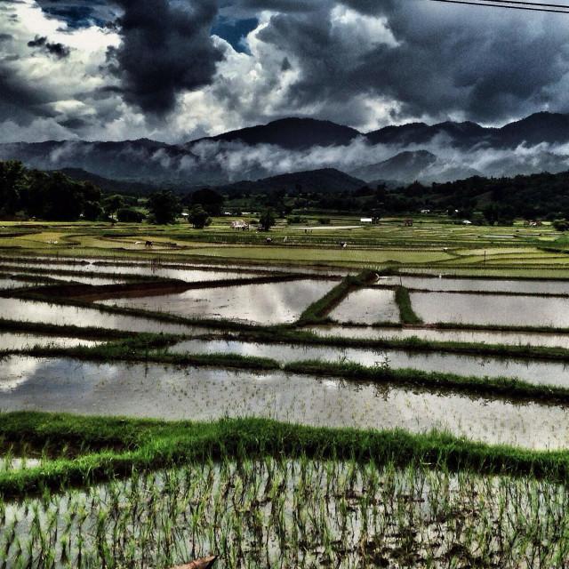 """Rice fields psi"" stock image"