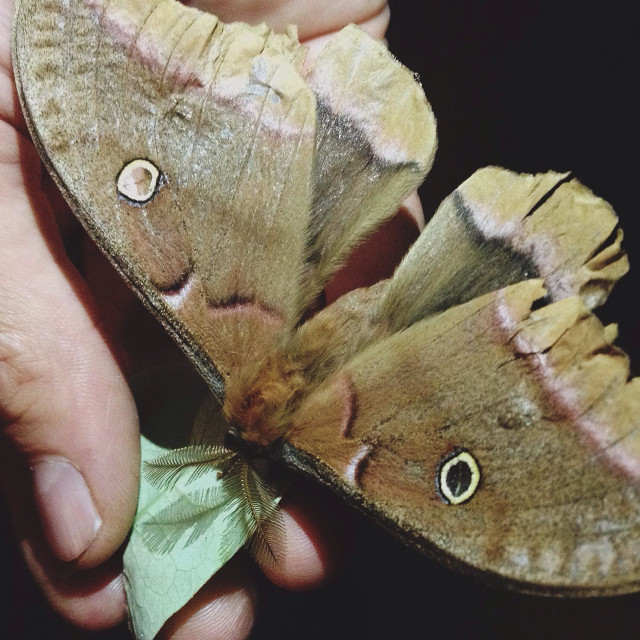"""Man's hand with rescued injured Polyphemus moth at night"" stock image"