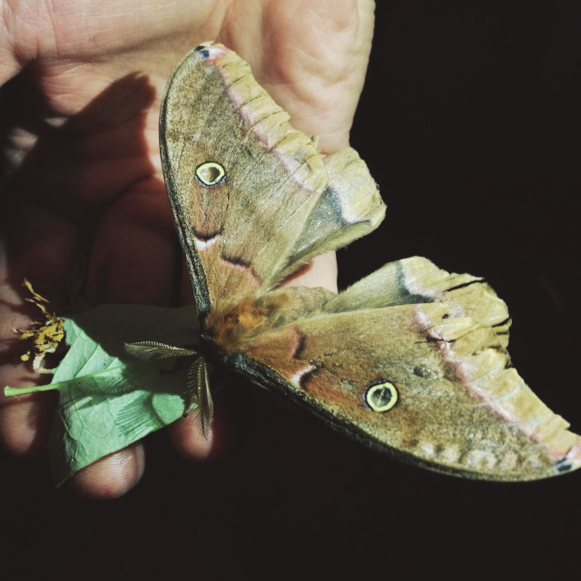 """Man's hand with rescued injured Polyphemus moth at night."" stock image"
